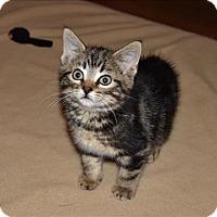 Adopt A Pet :: Norman - Sherwood, OR