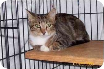 Domestic Shorthair Cat for adoption in Garland, Texas - Faithie