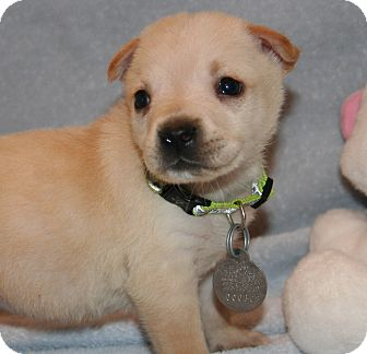 German Shepherd Dog/Labrador Retriever Mix Puppy for adoption in Scottsdale, Arizona - Callie