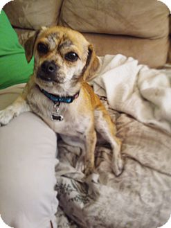 Pug/Chihuahua Mix Dog for adoption in Chicago, Illinois - MONICA