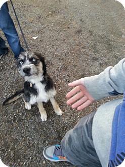 Schnauzer (Standard)/Husky Mix Dog for adoption in Yelm, Washington - Grover