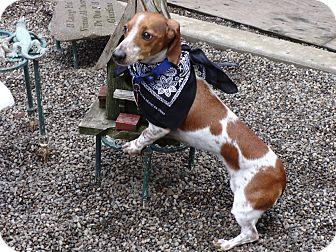 Dachshund Dog for adoption in Portland, Oregon - BENTLEE