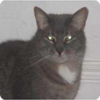 Domestic Shorthair Cat for adoption in Orillia, Ontario - Christopher