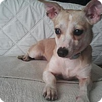Adopt A Pet :: Ruby- perfectly trained/calm - Los Angeles, CA