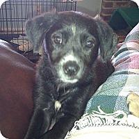 Adopt A Pet :: BLOSSOM - Glastonbury, CT