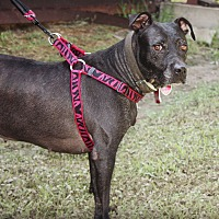 American Pit Bull Terrier Dog for adoption in Demopolis, Alabama - Houdini