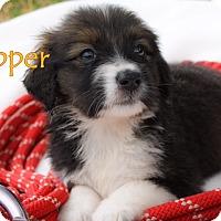 Adopt A Pet :: Lil' Dipper - Austin, TX