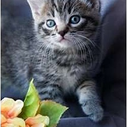 Photo 3 - Domestic Shorthair Kitten for adoption in Trexlertown, Pennsylvania - Tillie- New pictures!