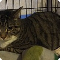Adopt A Pet :: Shadow - Manchester, CT
