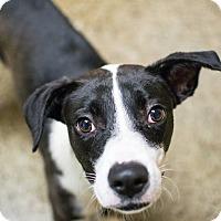 Adopt A Pet :: Victoria - Cranston, RI