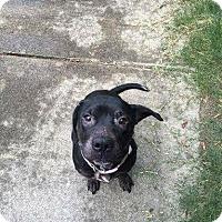 Adopt A Pet :: Bindi - Fairfax, VA