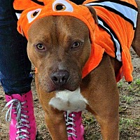 Adopt A Pet :: DJ - Hopewell, VA