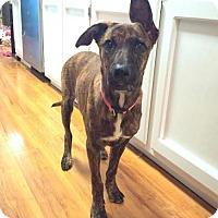 Adopt A Pet :: Olive - Glastonbury, CT