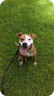 American Pit Bull Terrier Mix Dog for adoption in South Park, Pennsylvania - Sienna
