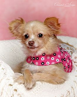 Chihuahua Dog for adoption in Lincoln, Nebraska - Coco