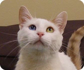 Domestic Shorthair Cat for adoption in Monroe, Michigan - Luna - Adoption Pending