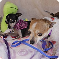 Chihuahua Mix Dog for adoption in Hamilton, Ontario - Finley