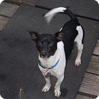 Rat Terrier Dog for adoption in Festus, Missouri - Romeo