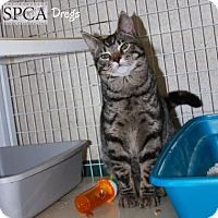 Adopt A Pet :: Dregs - Elizabeth City, NC