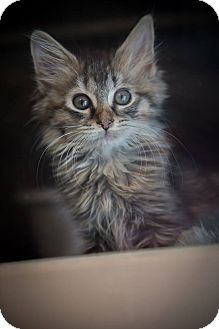 Domestic Longhair Kitten for adoption in Madionsville, Kentucky - Annie