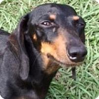 Adopt A Pet :: Bristol Braeburn - Houston, TX