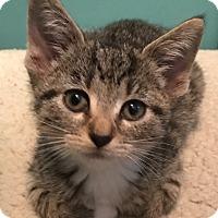 Adopt A Pet :: Laguna - Whitehall, PA