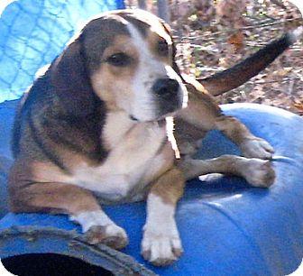 Labrador Retriever/Shepherd (Unknown Type) Mix Dog for adoption in Tahlequah, Oklahoma - Hoss