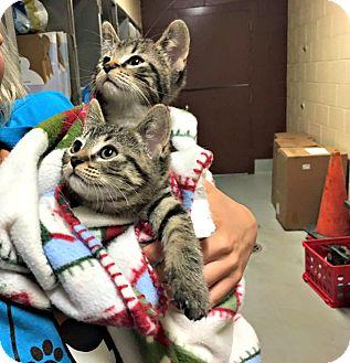Domestic Shorthair Kitten for adoption in Flint, Michigan - Squeak