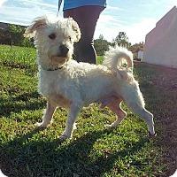 Poodle (Miniature)/Westie, West Highland White Terrier Mix Dog for adoption in Baton Rouge, Louisiana - Dino