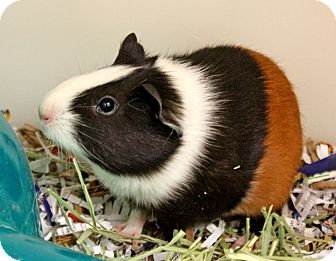 Guinea Pig for adoption in Harrisonburg, Virginia - Pipsqueak