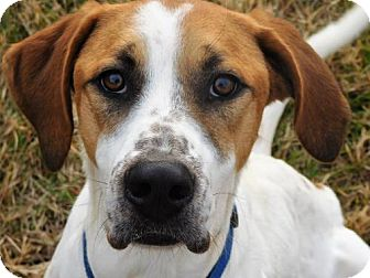 Hound (Unknown Type)/Labrador Retriever Mix Dog for adoption in Spartanburg, South Carolina - Brett
