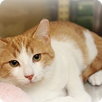 Adopt A Pet :: Shelton - Springfield, PA