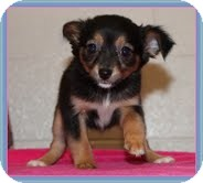 Chihuahua Mix Puppy for adoption in Hagerstown, Maryland - Opal