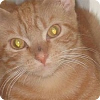 Adopt A Pet :: Marmalade - bloomfield, NJ