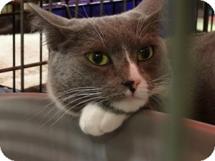 Domestic Shorthair Cat for adoption in Diamond Bar, California - MOON