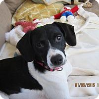 Adopt A Pet :: Pebbles - Bowie, MD