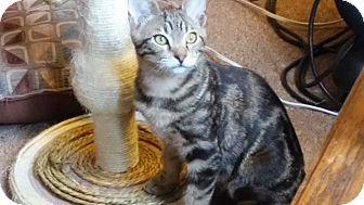 Domestic Shorthair Cat for adoption in Springdale, Arkansas - Robin