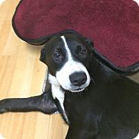 Adopt A Pet :: Mercury in CT - East Hartford, CT