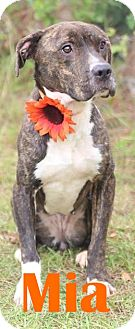 American Staffordshire Terrier/Labrador Retriever Mix Dog for adoption in Orangeburg, South Carolina - Mia