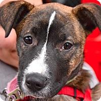 Adopt A Pet :: Adele - Jersey City, NJ
