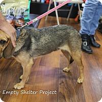 Adopt A Pet :: Carley *adoption pending* - Manassas, VA