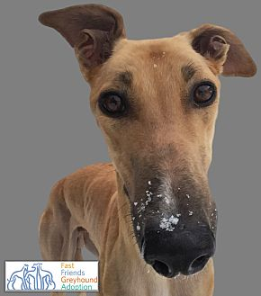 Greyhound Dog for adoption in Swanzey, New Hampshire - Crimson