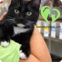 Adopt A Pet :: Amadeus - Newport, KY