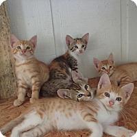 Adopt A Pet :: 21 Kittens - Ponchatoula, LA