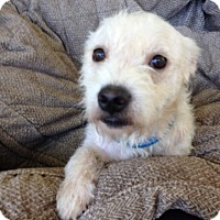 Cairn Terrier Mix Dog for adoption in Memphis, Tennessee - Knute