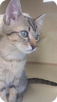 Domestic Shorthair Kitten for adoption in Walnut Creek, California - Shadow