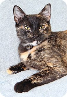 Domestic Shorthair Cat for adoption in Encinitas, California - Kakuna