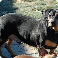 Dachshund Mix Dog for adoption in Anaheim, California - Henry