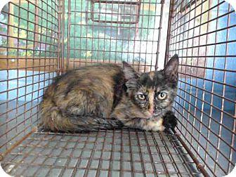 Domestic Shorthair Kitten for adoption in San Bernardino, California - URGENT on 9/9 San Bernardino