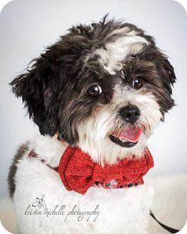 Maltese/Shih Tzu Mix Dog for adoption in St. Louis Park, Minnesota - Orlando Bloom
